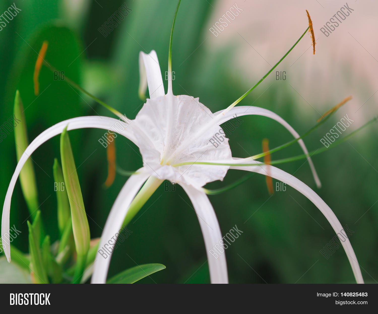 crinum lily cape lily image photo free trial bigstock