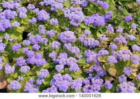 Blooming Ageratum houstonianum on a bed as a background for design
