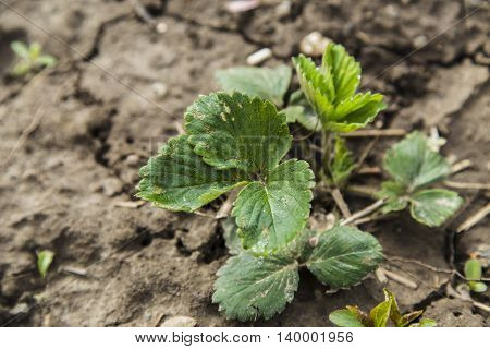 Green bushes of a strawberry in the garden