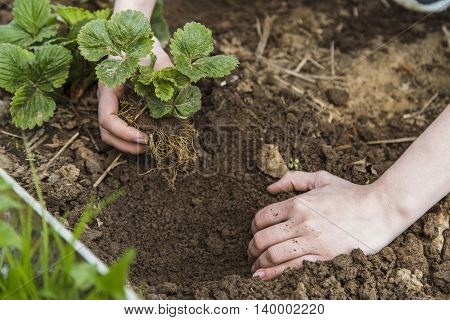 Gardener hands planting strawberry in ground in garden