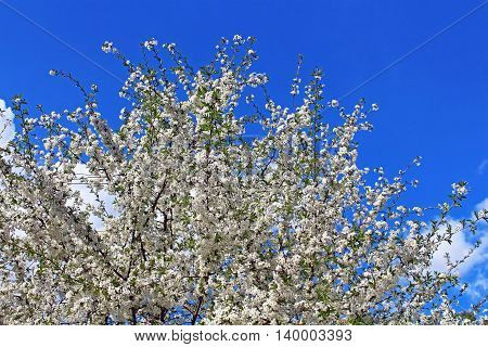 Cherry flowers blooming in springtime in the garden