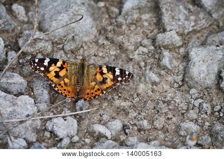 orange butterfly painted lady on the ground among the rocks closeup