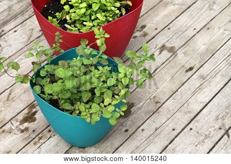 Growing Spearmint And Oregano