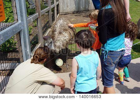 BROOKFIELD, ILLINOIS / UNITED STATES - MAY 21, 2016: Children pet an Australian emu (Dromaius novaehollandiae) in the Brookfield Zoo's Hamill Family Wild Encounters.