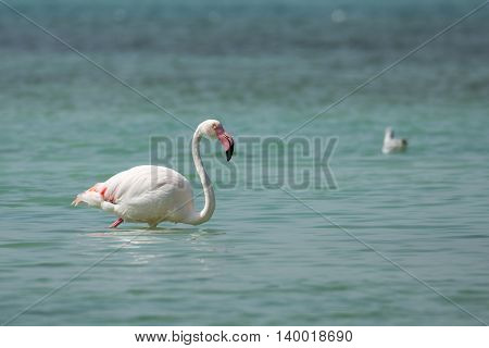 Greater Flamingo or Phoenicopterus roseus in a beach in Bahrain