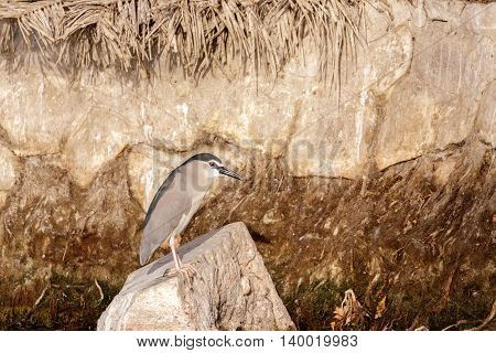 An adult Black-crowned Night Heron sitting on a rock in a water park in Bahrain
