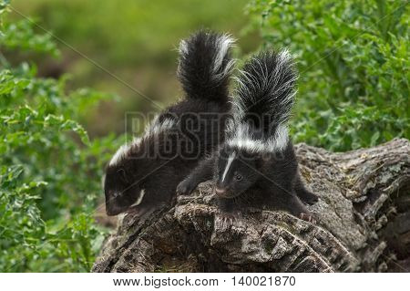 Two Baby Striped Skunks (Mephitis mephitis) Atop Log - captive animals