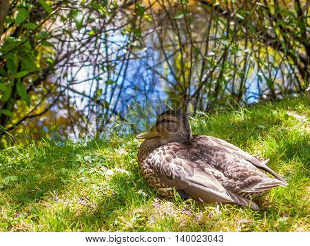 American Black duck sitting on the green gass near a blue lake. The trees and lake are in the background.
