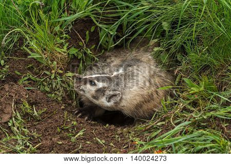 Snarling North American Badger (Taxidea taxus) - captive animal