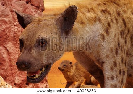 Spotted hyena taxidermy objects animals wild theme.