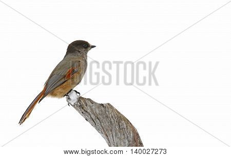 Siberian jay Perisoreus infaustus sitting on deadwood branch in Finland.