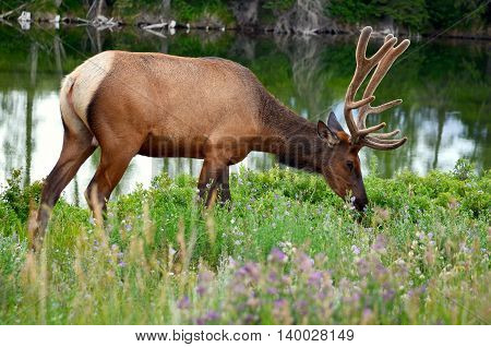 close up of beautiful Male Elk in National Park