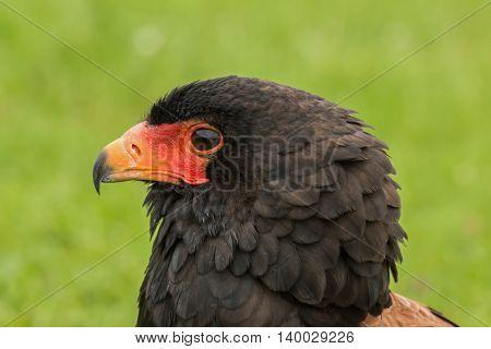 Portrait of a Bateleur Eagle, side on