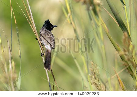 Red-vented Bulbul or Pycnonotus cafer in a farm in Bahrain