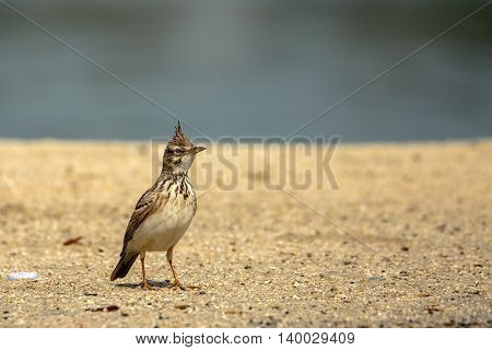 Crested Lark in a Beach in Bahrain
