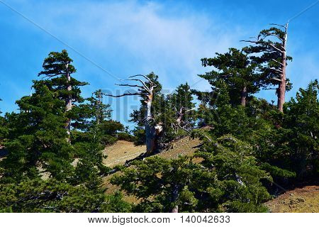 Pine Tree Forest taken at a mountain ridge in Mt Baldy, CA