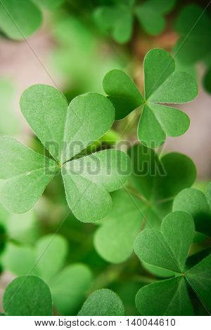 Photo of a green oxalis plant leafs.