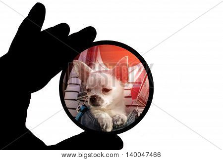 Funny chihuahua puppy in round frame. Pets