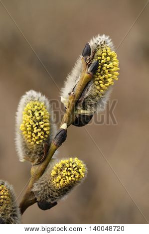 Branch of Salix caprea with male catkins at early spring