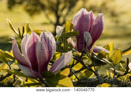 detail of pink magnolia flowers in spring