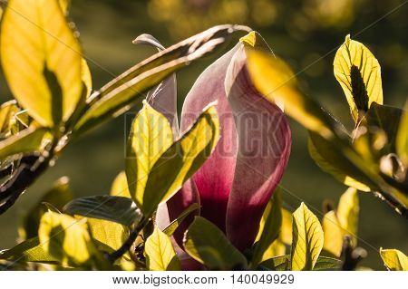 closeup of pink magnolia bud and leaves