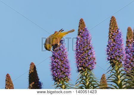 silvereye feeding on nectar from pride of Madeira flowers