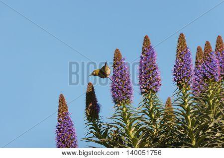 bird feeding on pride of Madeira flowers against blue sky