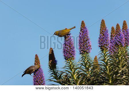 birds feeding on pride of Madeira flowers