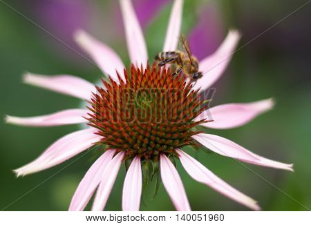 Pink Echinacea Coneflower closeup with bee relaxing on a pink plant over green foliage