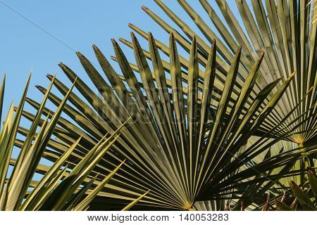 closeup of fan palm tree leaves against sky