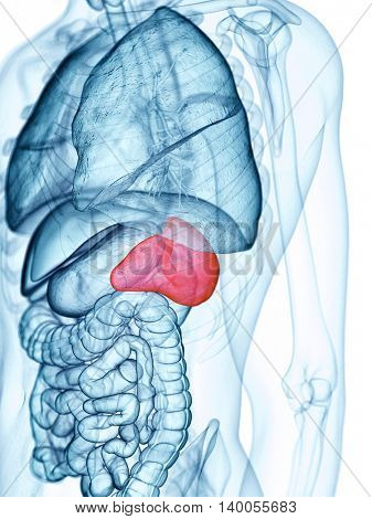 medically accurate illustration of the spleen