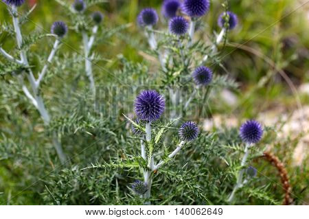 Flowers of the southern globe thistle (Cardo pallotta) a wild thistle in Southern Europe.