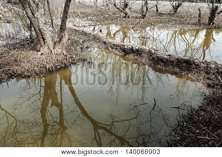 Dry Mangrove Forest, Dried Tree