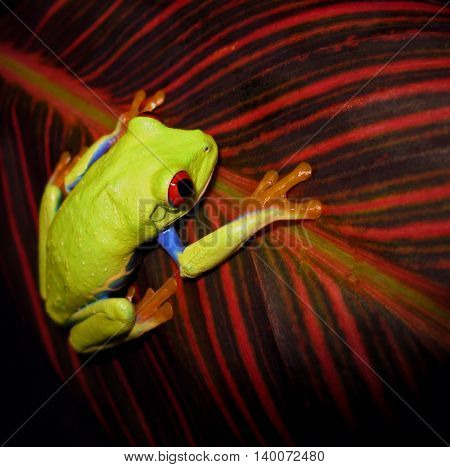 Red eyed tree frog climbing on red striped canna leaf.