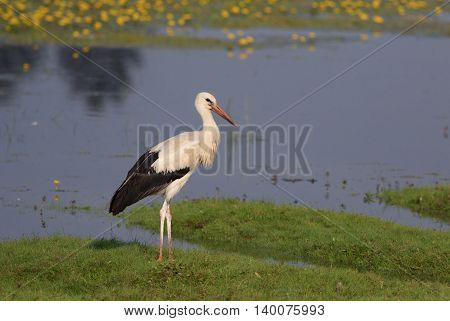 Young White stork Ciconia on the bog