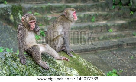 Japanese Macaque resting on a stone relaxing