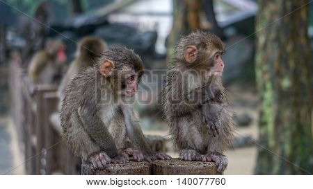 Two Japanese Macaques sitting next to each other.