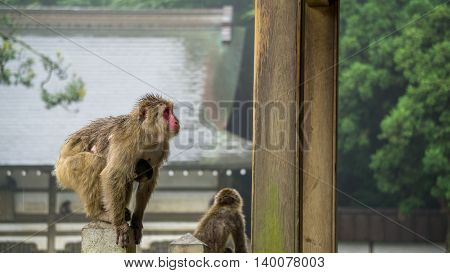Japanese macaque monkey with her child holding on.