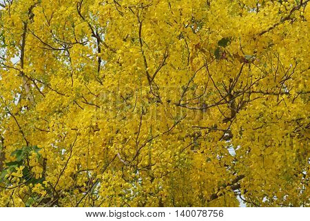 Purging Cassia national flower of Thailand .