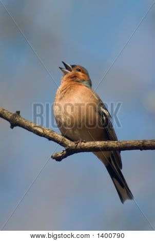 Singing Chaffinch Bird