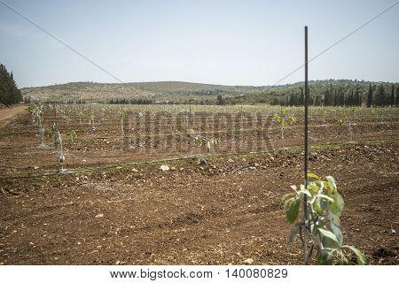 Loquat tree whitewash grow in a field