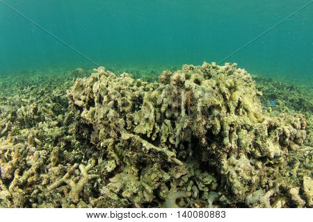 Dead coral reef killed by global warming and climate change