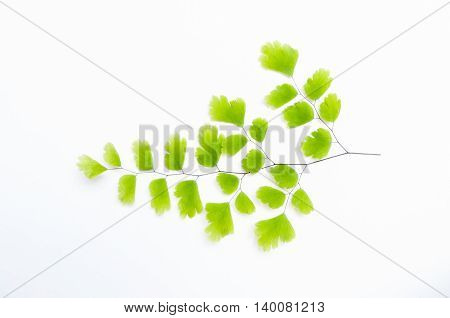 Maidenhair fern (Adiantum sp.) leaves on white background with soft shadow. It is used in herbal medicine as tea or syrup for its expectorant and cough suppressing properties