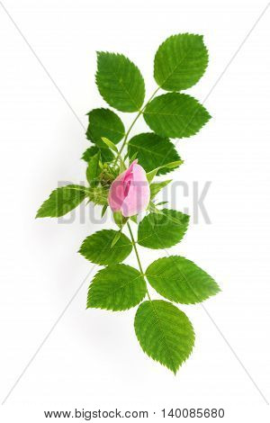 Rosa canina - wild rose bud on white background.
