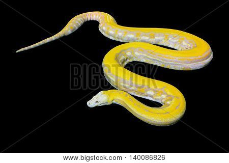 Gold PythonReticulated python (Python reticulatus) on black background
