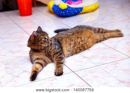 beautiful stripped cat lying down on a marmor floor
