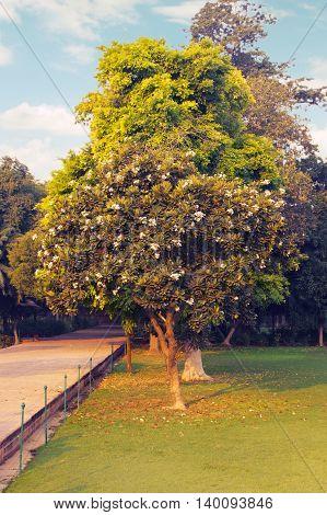 Southern magnolia Magnolia grandiflora. Called Evegreen Magnolia, Bull Bay, Bullbay Magnolia, Laurel Magnolia and Loblolly Magnolia also