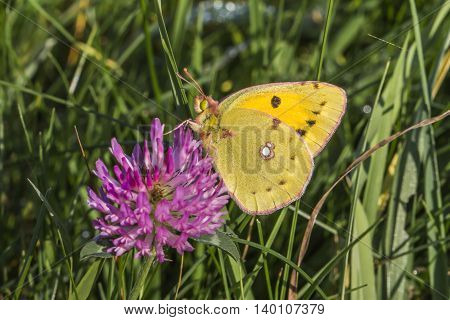 A pale clouded yellow on red clover poster