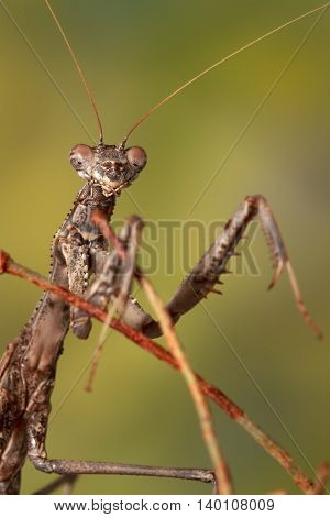 Closeup portrait of a Bolivaria brachyptera (Mantodea) on green background. shallow dof