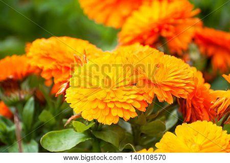 Orange Marigold Flowers  or tagetes Summer Ireland